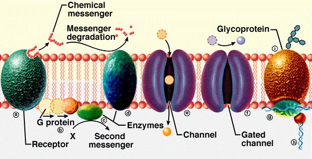 g_protein